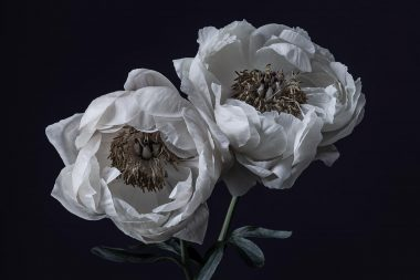 two-peonies-from-here-for-you-project-copyright-richard-boll-photography