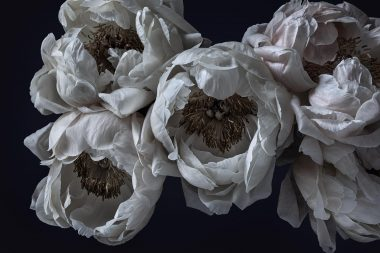 here-for-you-peonies-copyright-richard-boll-photography
